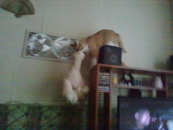 zu03HrSJfcA Фотоподборка очаровательных рыжих котиков :)