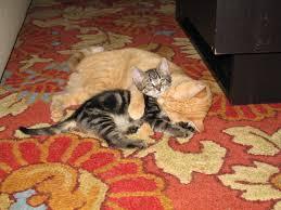 коты рыжий и серый в полоску играю