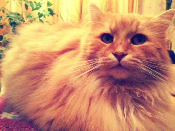 кот рыжий пушистый красивый
