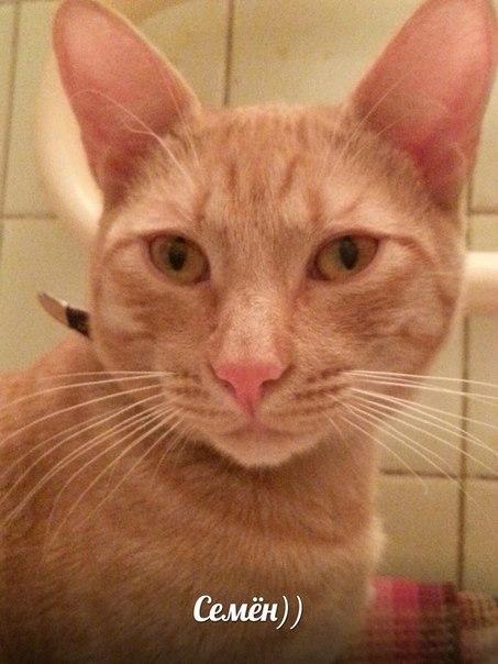 кот рыжий с ушами в ошейнике милый