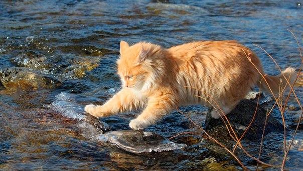 рыжий кот на реке Противовирусные препараты для котов