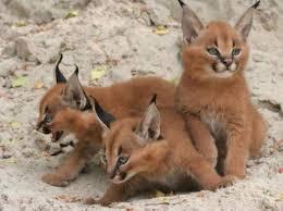 кошки с кисточками
