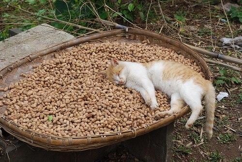 рыже-белый кот лежит на хернах балдеет