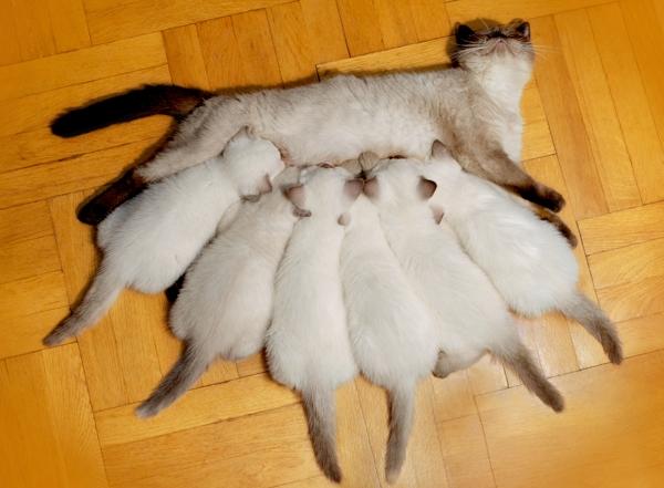 фотография сиамской кошке и 6 котят молоко пьют