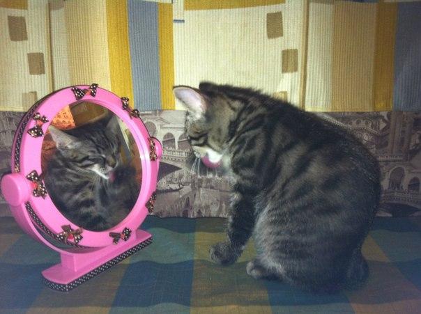 курильский бобтейл у зеркала