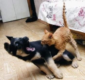 рыжий котенок напал на щенка тот ув ужасе