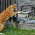 кастрация коты рыжий и полосатый