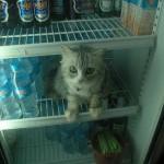 славный кот сидит в холодильнике смешной