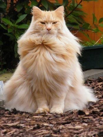 шикарный пушистый рыжий кот сидит довольный