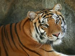 Тигры - идеальные охотники.