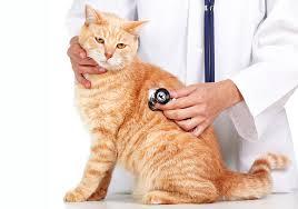 рыжий кот ветеринар