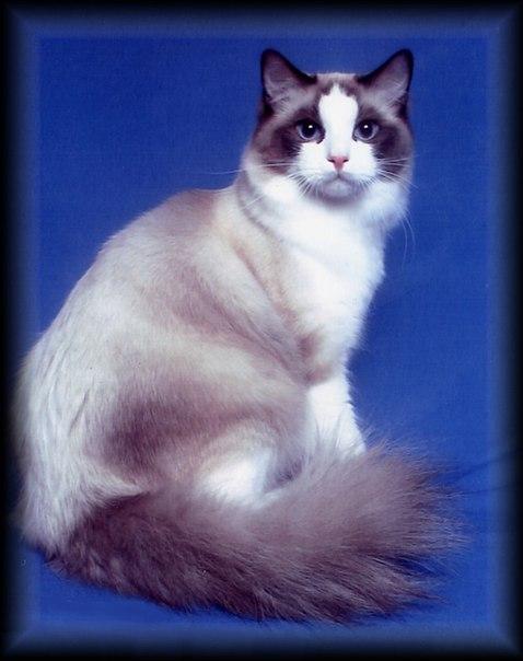 кошка-сиамская