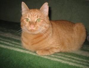 рыжий кот красивый пушистый