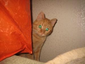 красивый рыжий кот фотография смотрит хитро