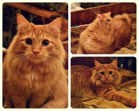 кот рыжий краисвый милый фото
