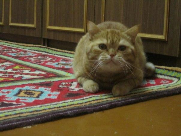 кошка рыжая пушистая сидит на ковре