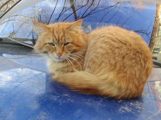 кот рыжий пушистый спит на машине