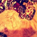 красивый рыжий кот фотография