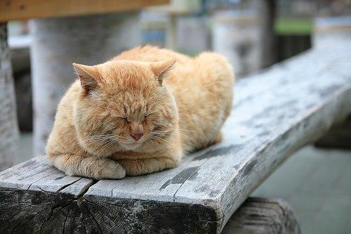 кот рыжий спит на доске пухлый красивый