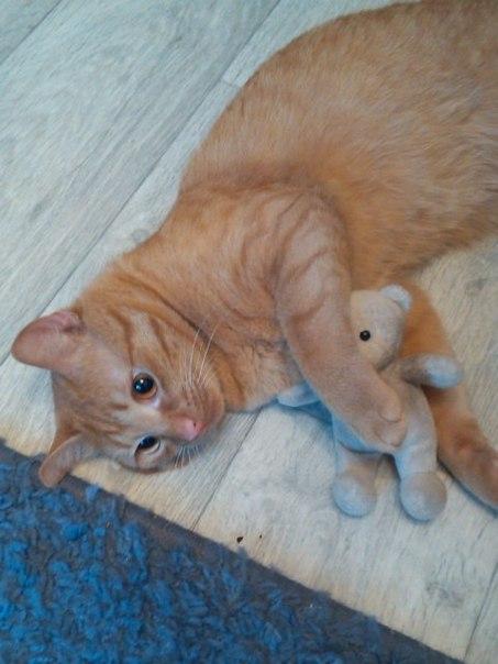 рыжий кот с игрушкой красивый лежит и радуется