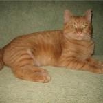 рыжий кот красивый счастливый