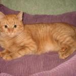 красивый пушистый рыжий кот