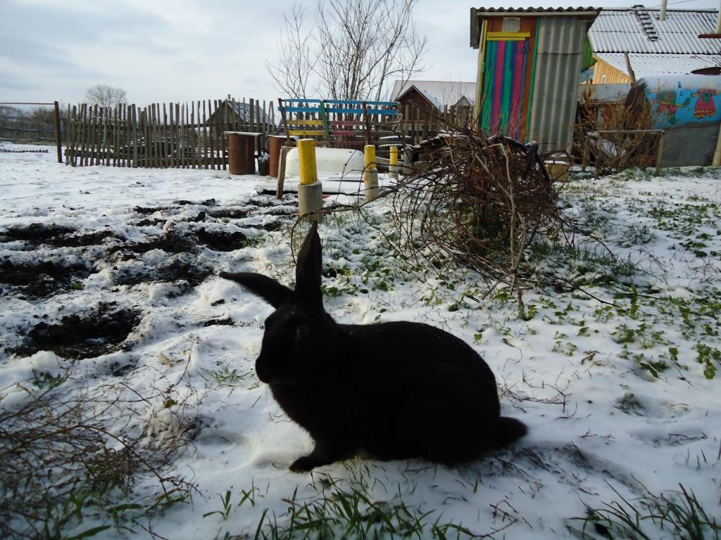 кролик черный милый