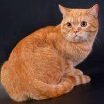 Шотландский рыжий котенок