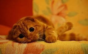 рыжий кот фотография красивый лежит на диване