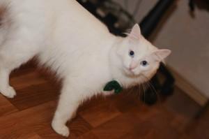белый кот красивый с галстуком