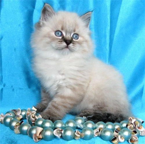 маленький котенок белый и пушистый на голубом фоне с бусами