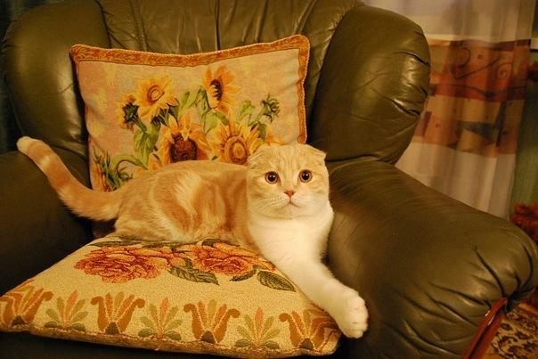 кот рыжий с белым лежит на диване красивый
