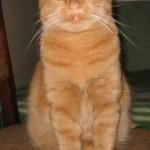красивый рыжий кот пушистый