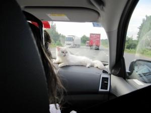 красивая белая кошечка в машине лежит
