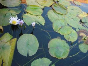 фото-озеро-лилии