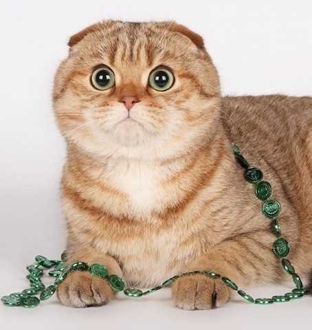 Кастрация шотландских вислоухих котов