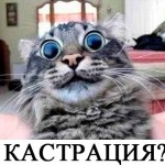 Кот после кастрации хочет кошку