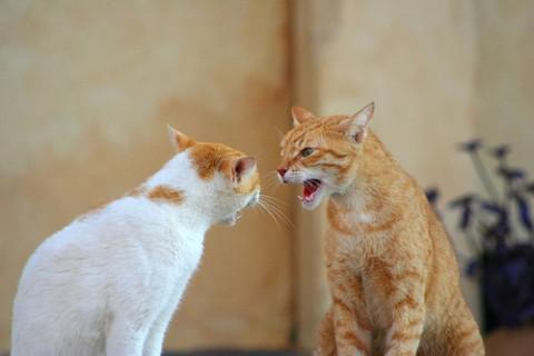 коты шипят рыжие