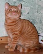 Стерилизация британских кошек