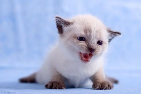 котенок сиамский мяучит