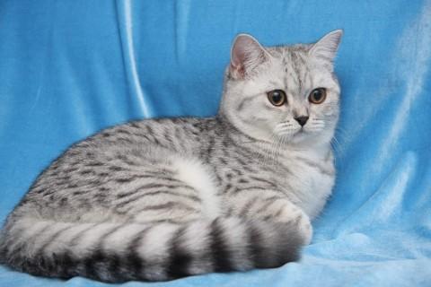 полосатый кот британец фото