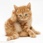 фото картинка котенка рыжего уши болят