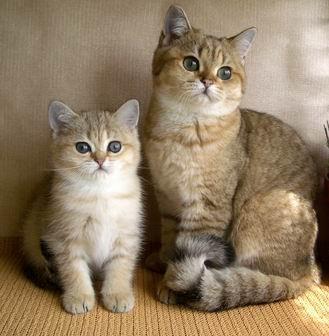 британские кошки красивые