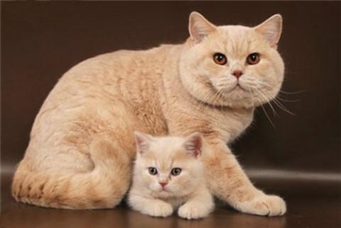 британская кремовая кошка с котятами