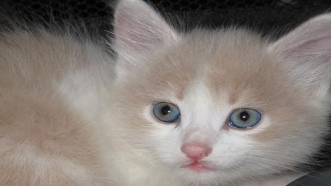 милый котенок с голубыми глазами