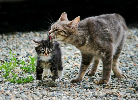 кошка лижет котенка мило
