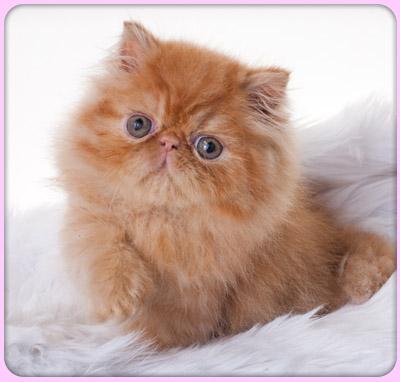 пушистый рыжий котенок красивый с большими глазаками