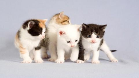 красивые котята белые с пятнами