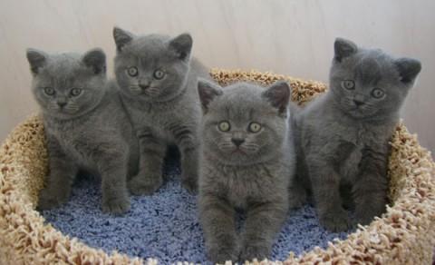 британски очаровательные котята серого цвета дымка