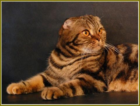 шотландских кошек